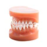 Dentures Stock Image