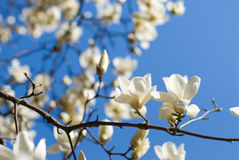 Denudata de la magnolia fotos de archivo libres de regalías