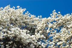 Denudata de la magnolia imágenes de archivo libres de regalías