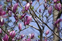 Denudata de magnolia Images stock