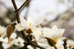 Denudata de magnolia Photographie stock