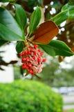 Denudata Magnolia Στοκ εικόνες με δικαίωμα ελεύθερης χρήσης