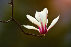 Denudata Magnolia Στοκ φωτογραφίες με δικαίωμα ελεύθερης χρήσης