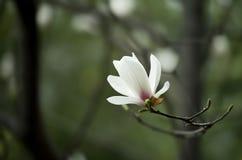 Denudatabloem van de magnolia royalty-vrije stock fotografie