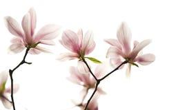 Denudatabloem van de Magnolia van Backlighting royalty-vrije stock foto's
