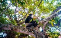 Denvände mot langurapan på den livliga bilden för träd Arkivfoton