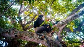 Denvände mot langurapan på den livliga bilden för träd Arkivfoto