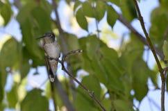 Denver Botanical Gardens: El encaramarse del pájaro del tarareo Fotos de archivo