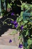 Denver Botanical Gardens: Esquina púrpura apasionada de la vid de trompeta Imagen de archivo libre de regalías