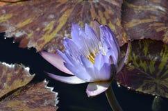 Denver Botanical Gardens: Lavanda Waterlily Imágenes de archivo libres de regalías