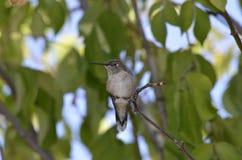 Denver Botanical Gardens: Pájaro del tarareo en descanso Imagen de archivo libre de regalías