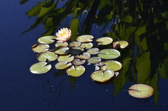 Denver Botanical Gardens : Réflexions 2 de Waterlily Photo stock