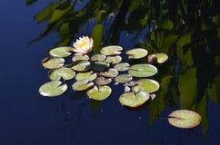 Denver Botanical Gardens: Reflexiones 2 de Waterlily Foto de archivo