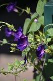 Denver Botanical Gardens: Vid de trompeta púrpura apasionada Foto de archivo