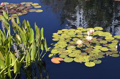 Denver Botanical Gardens: watergarden trio Royalty Free Stock Photo