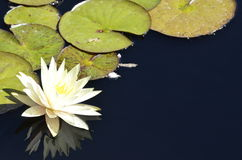 Denver Botanical Gardens: Waterlily Reflections Royalty Free Stock Images
