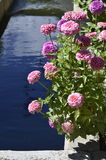 Denver Botanical Gardens: Zinnias and Water Royalty Free Stock Images