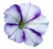 denvioletta petuniablomman på vit isolerade bakgrund med den snabba banan inga skuggor closeup Royaltyfri Bild