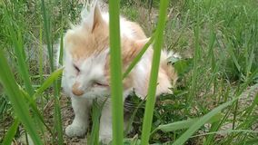 denvit katten äter grönt gräs utomhus Gullig rolig röd-vit katt, slut upp arkivfilmer