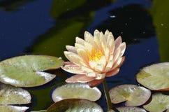 Denwerscy ogródy botaniczni: Spłoniony Różowy Waterlily Obraz Royalty Free
