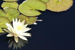 Denwerscy ogródy botaniczni: Waterlily odbicia Obrazy Royalty Free