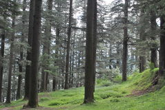Deodar forest Manali himachal - the woods are green and clean Royalty Free Stock Photography