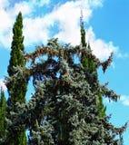 Deodar und Zypressenbäume im subtropischen Park Stockbilder