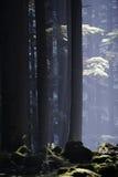 Deodara Bäume Lizenzfreies Stockbild