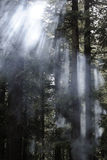 Deodara Bäume Stockfoto