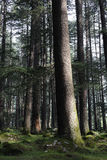 Deodara Bäume Stockbild