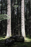 Deodara trees in magic light Royalty Free Stock Images