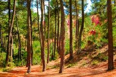 Depósito ocre del Rosellón: Bosque de los árboles de pino de las curvas en el barranco con la tierra roja fotografía de archivo