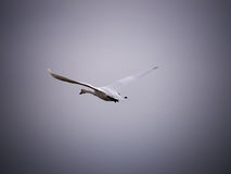 A departing white swan Stock Image