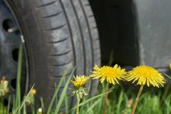 Car at countryside. Car tire standing on the green grass with yellow dandelians. Departure by car in the countryside. Car wheel standing on the green grass with stock images