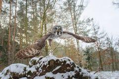 Departure of great grey owl. Wide closeup shot Stock Image