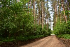 Departure from the pine forest in the future intersection with another road. Many trees pull their branches high to the sun. Therefore, it seems like a green royalty free stock photos