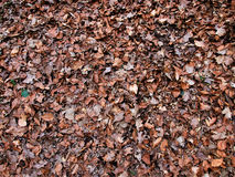 DEPARTURE OF WINTER: Dry leaves in the forest Stock Photography