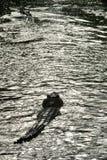 Departuring-Kubaner-Krokodil Stockfotos