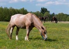 Depasture do cavalo Foto de Stock Royalty Free