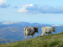 Depasturing cows. Cows depasturing in sardinian mountains Royalty Free Stock Photo