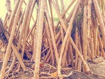 Dependente dos manguezais imagem de stock royalty free