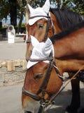 Dependiendo de los caballos de carro de Grecia Imagen de archivo libre de regalías
