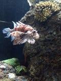 Depeszująca przyglądająca ryba Fotografia Royalty Free