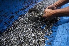 Depik Fish. A fisherman get alot of Depik Fish.. Depik fish is a iconic fish in Gayp Haighland in Central Aceh, Indonesia stock images