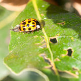 Deploying Wings. A ladybird sits on a green bay tree leaf stock photo