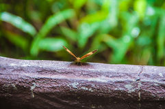 Deployment. Butterfly deploying its wings on a trunk, Chiang Mai, Thailand royalty free stock photo