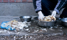 Deplumation of Chicken. One of traditional way to pull feather from chicken is to use hot water Royalty Free Stock Photos