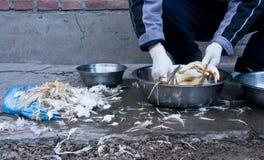Deplumation del pollo Fotografie Stock Libere da Diritti