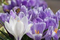 Depois de uma abelha Fotos de Stock Royalty Free