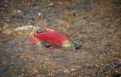 Deponendo uova salmone rosso - maschio e femminile fotografia stock libera da diritti